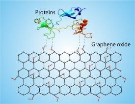 Schematic demonstration of the noncovalent interactions between graphene oxide and cellular proteins
