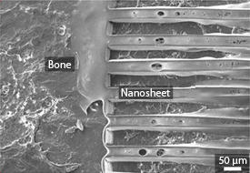Microgrooved nanosheet adhered to the surface of a bone.